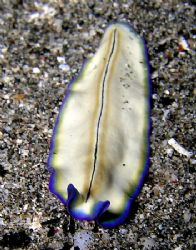 Blueberry &amp; Vanilla Flatworm. Taken with Olympus C-5050. by Nick Hobgood 